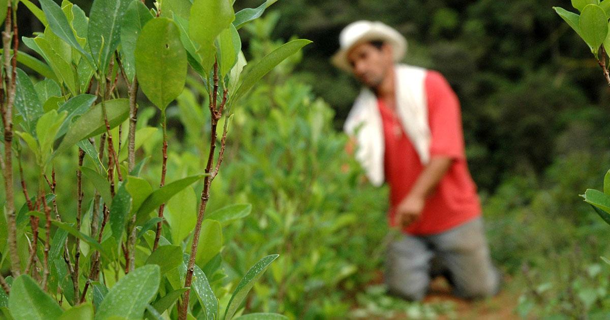 Plantación de coca fotografía Semana.com