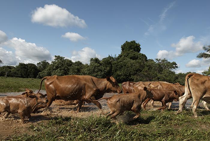 Sector Ganadero del Caquetá es uno de los más afectados por la situación de  las vías