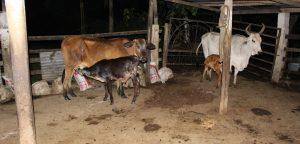 Capturados ladrones de ganado que delinquían en Cundinamarca, Arauca y Caquetá